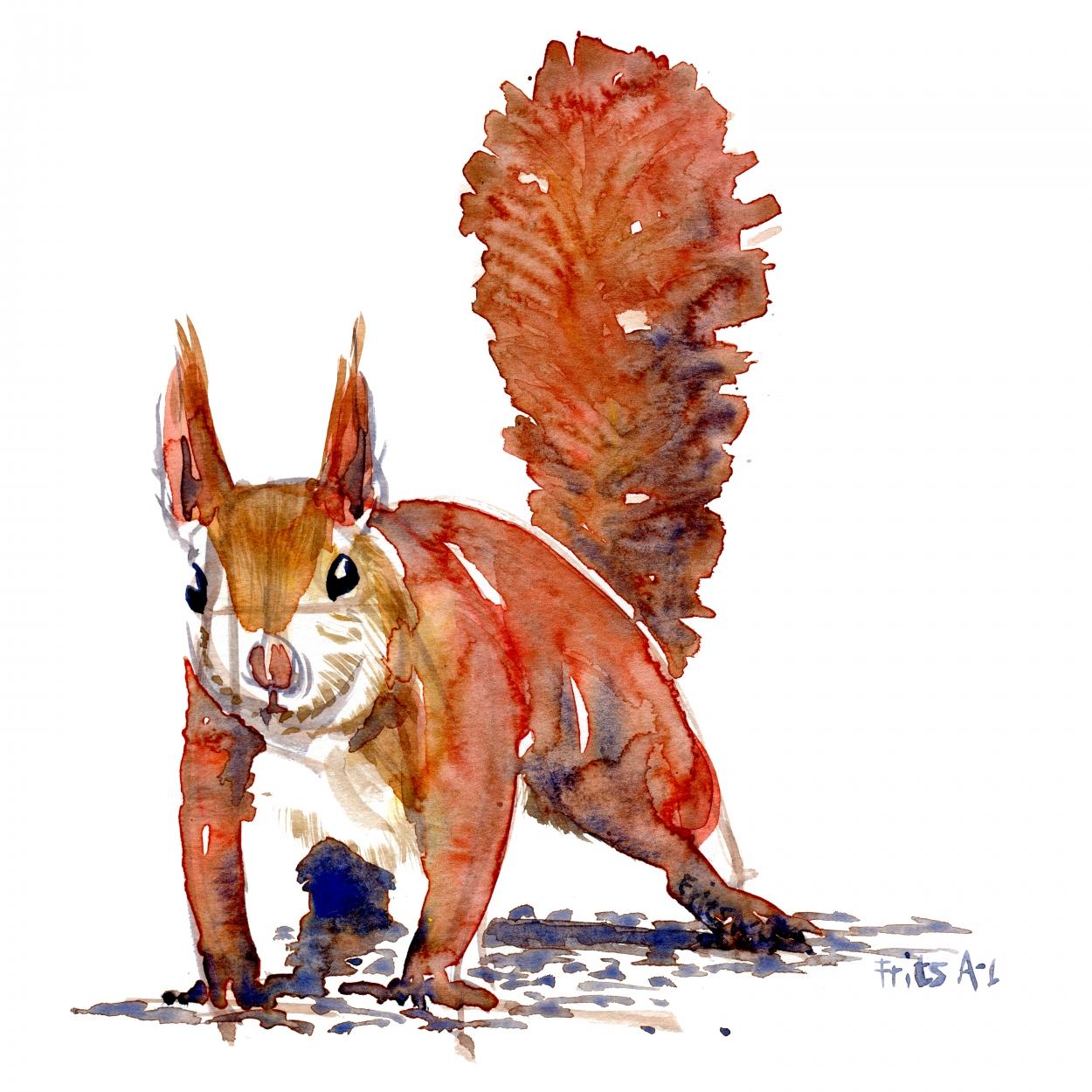 Akvarel studie af et egern